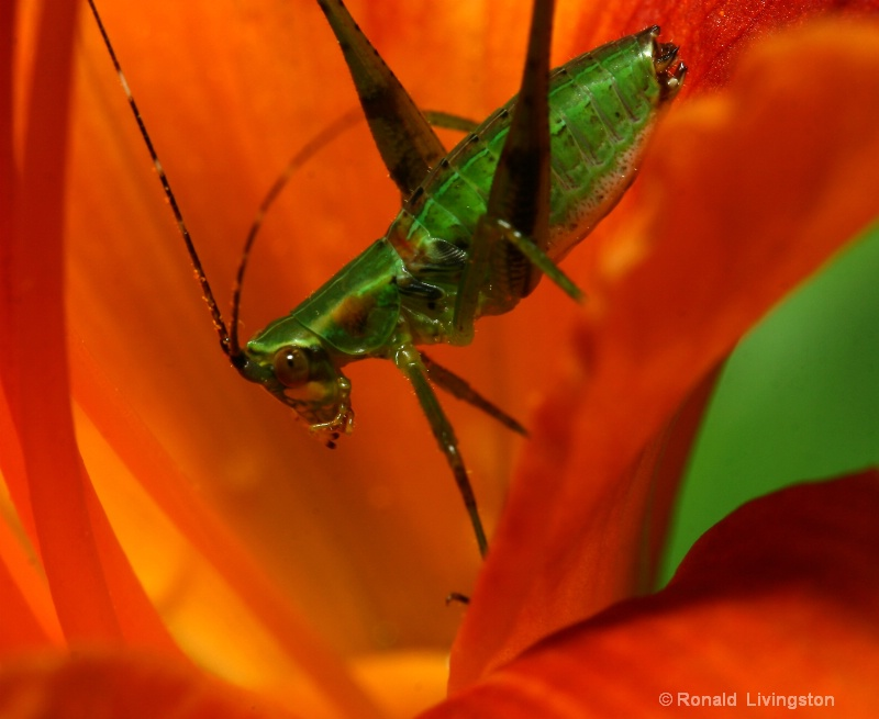 Field Cricket - ID: 8614304 © Ron Livingston