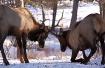 Elk Fight