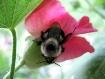 Big Boy Bee