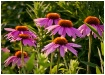 Coneflower Group