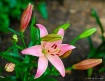 Lovely Lily Pink