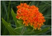 Orange Blossum Sp...
