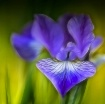 Stylized Iris