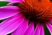 Frac Cone Flower