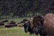 Bison 098