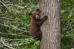 Black Bear Cub 09...