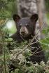 Black Bear Cub 30...