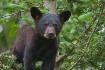 Black Bear cub 34...