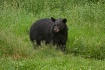 Black Bear 119