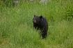 Black Bear 130