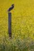 Meadowlark 0157