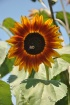 Sun Flower And Be...