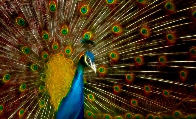 Peacock Glows