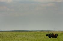 Cow in Kansas