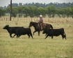 Checkin Cattle