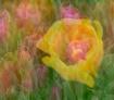Multi Tulips