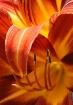 June's Lilies