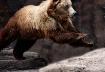 Alaskan Brown Bea...