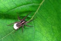 Tiny Mommy Spider