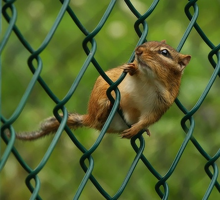 Chipmunk On The Fence