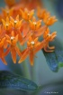 Butterfly Plant M...