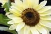 Rogue Sunflower