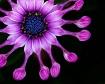 Soprano Lilac Spo...