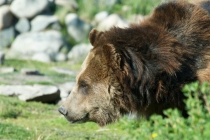 Stoke, a grizzly bear weighing in at 509 pounds