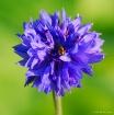 Cornflower & Fly
