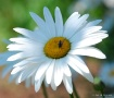 Not just a Daisy
