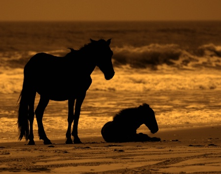 Wild Ponies of Outer banks, NC