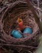 1.5 baby robins