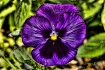 Purple Pansy Two