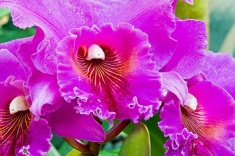 Orchid (Cattleya) (J.A. Carbone) - ID: 8737552 © Charles W. Stephens