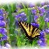 © John M. Hassler PhotoID # 8738260: Abiquiu Swallowtail in Purple flowers
