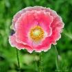 Pinky Poppy