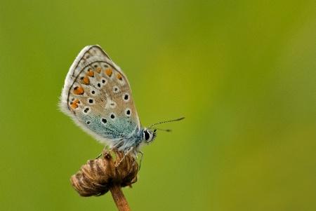 Icarus bleu