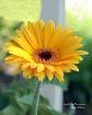 Gerbera Sunshine