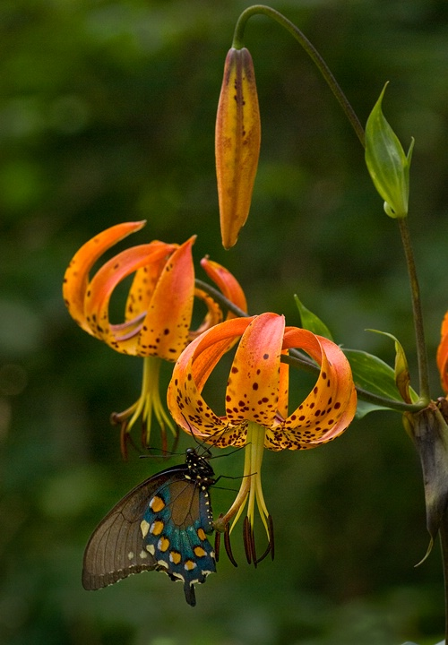 Pipevine Swallowtail on Turks Cap Lilly - ID: 8757099 © george w. sharpton