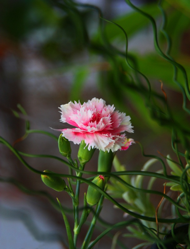 Carnation in the Wild...Wild Wild Pink