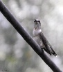 First  Hummingbir...