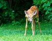 Backdoor Deer