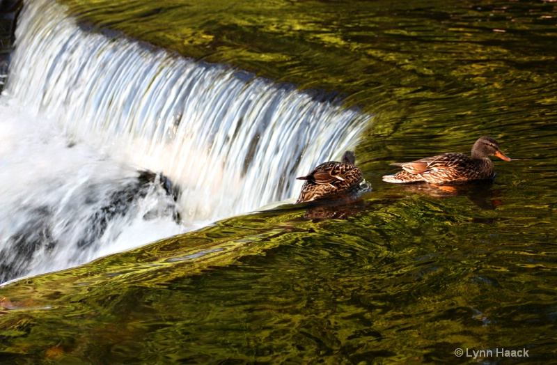 Ducks at Bond Falls