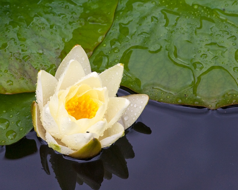 Water Lily - after the rain
