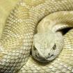 albino rattlesnak...