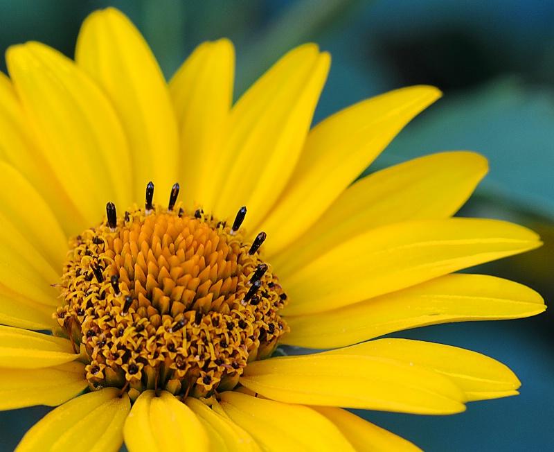 Maximilian Sunflower II