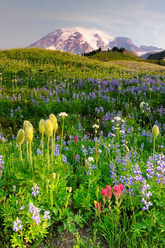Wildflower Meadows in Paradise - ID: 8791876 © Ron Heusser