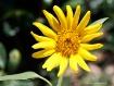 baby sunflower