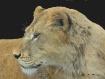 """Lioness Rest..."
