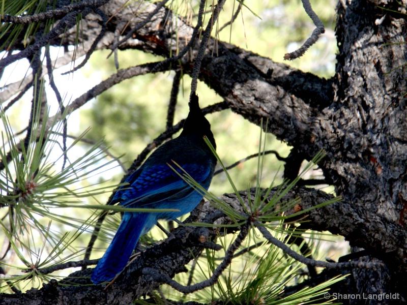 The Blue Jay - ID: 8800732 © Sharon L. Langfeldt